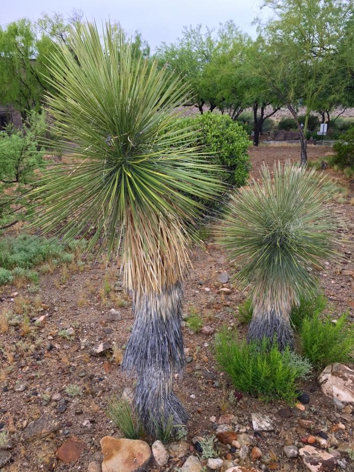 Yucca Plant Desert Arizona