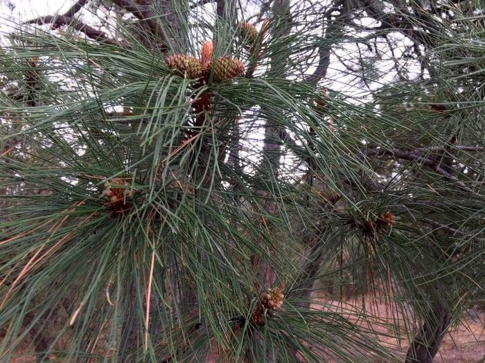 Ponderosa Pine Cones Needles