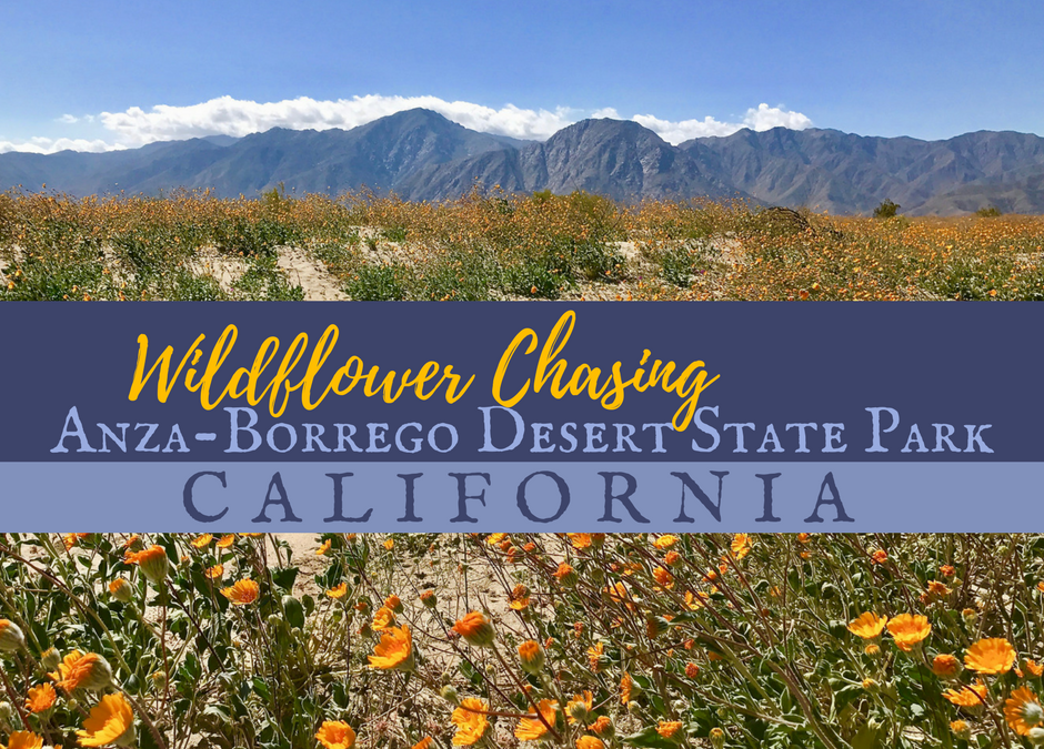 Wildflower Chasing at Anza-Borrego Desert State Park California
