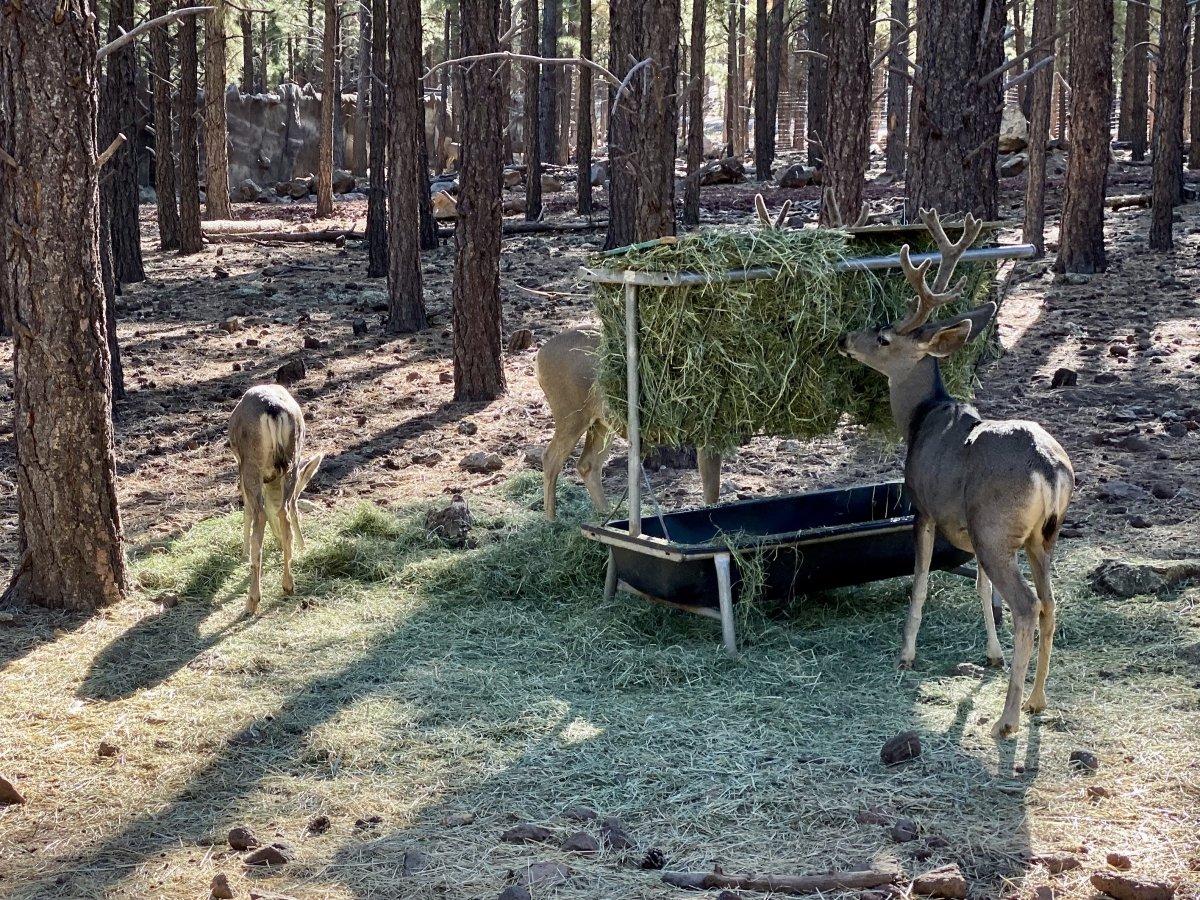 Bearizona deer