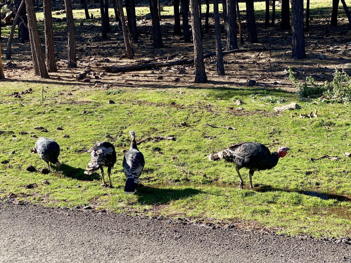 Bearizona wild turkeys
