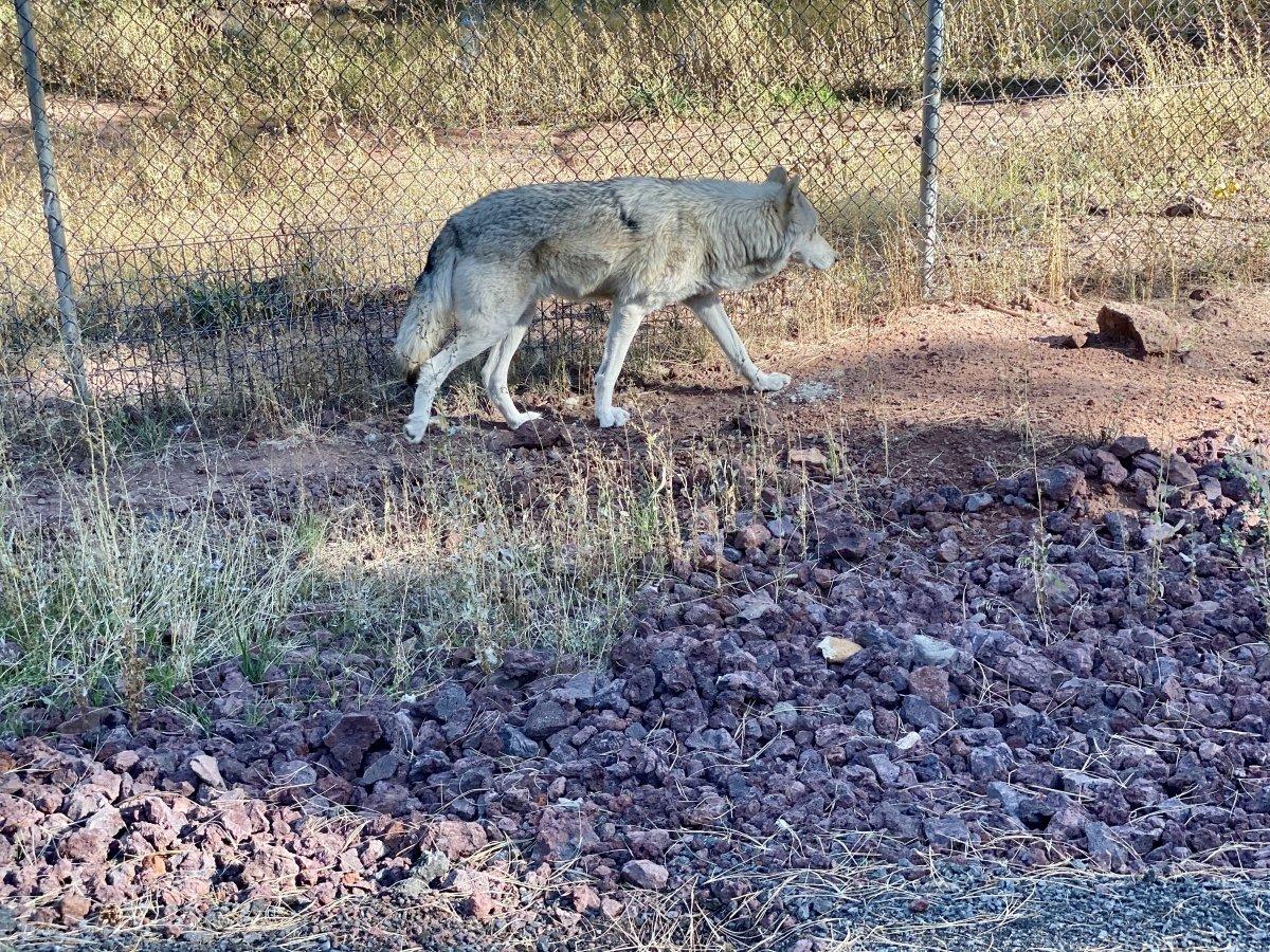 Bearizona wolf